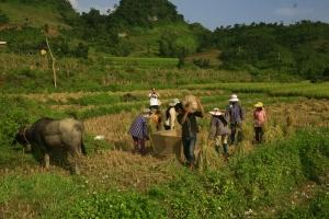Recolte de riz en cour de route....