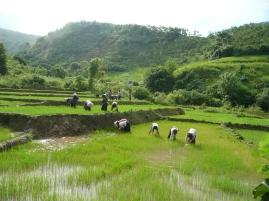 Repiquage du riz