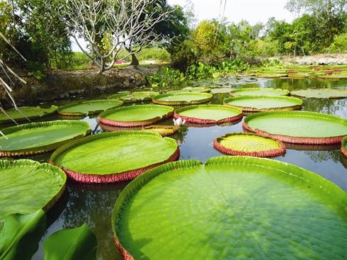 Étang de lotus-roi dans la pagode Phuoc Kiên, province de Dông Thap (Sud-Vietnam)