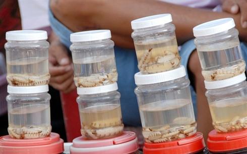 marche d'insectes au Vietnam_11