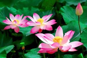 le-lotus