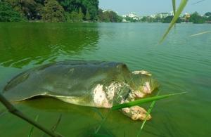 La-tortue-geante-du-lac-de-Hoan-Kiem