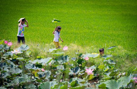 les-champs-de-lotus