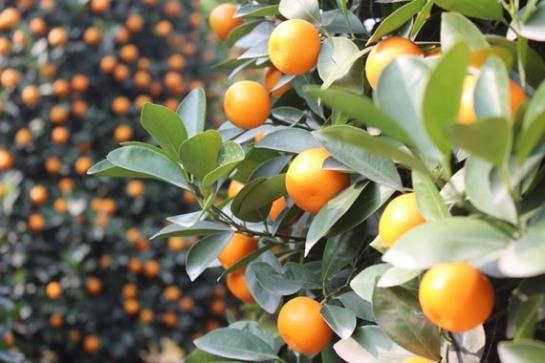 kumquats-quang-ba