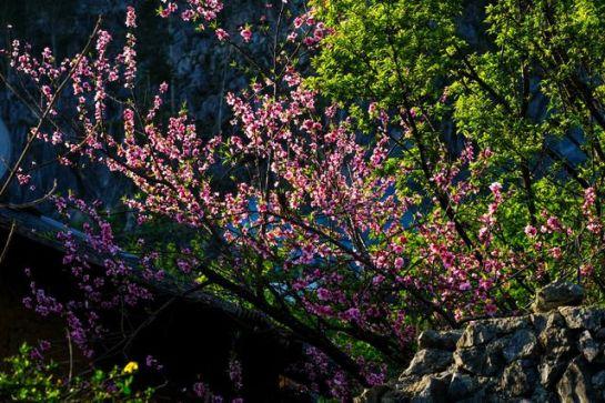 visiter ha giang au printemps fleur pecher.jpeg